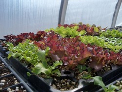 Lettuces ready to plant