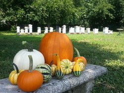 Pumpkin patch and bees