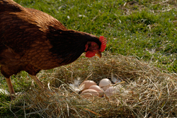 Hen and eggs
