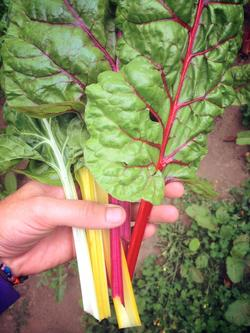 Bunch of chard