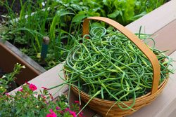 Garlic scapes small